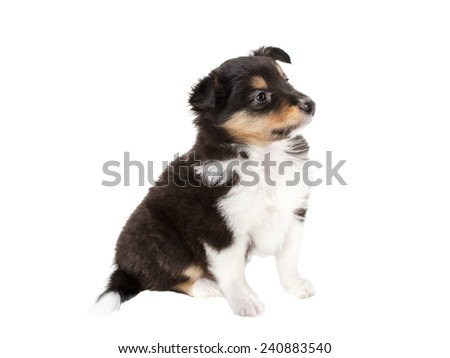 little puppy Sheltie isolated on white background