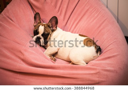 Little puppy white sleeping on a pink chair. Dog Breed - French Bulldog - stock photo