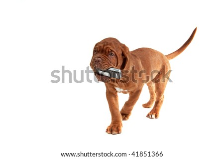 Little puppy with a phone in his mouth - stock photo