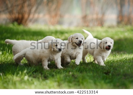 Little puppys Golden retriever,running around, playing in the summer park - stock photo