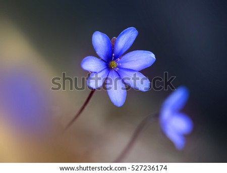 Little purple flowers -Hepatica