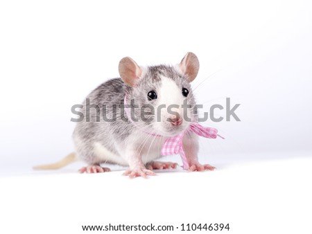 little rat with a pink bow on white background - stock photo