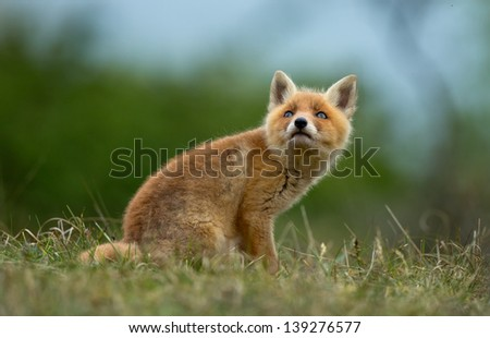Little Red fox cub looking up
