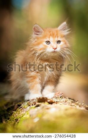 Little red kitten  - stock photo