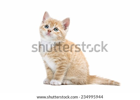little red kitten in front of a white background - stock photo