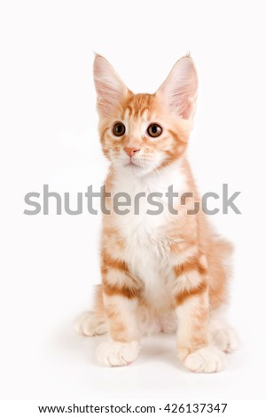 Little red kitten sitting on white background. Studio photography.