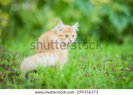 Little red kitten walking in the garden