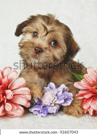 Little red puppy looking very Curious, sitting with flowers on a white background. - stock photo