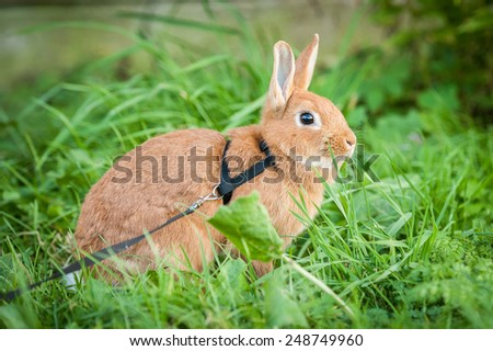 Little red rabbit walking on the lead in summer - stock photo