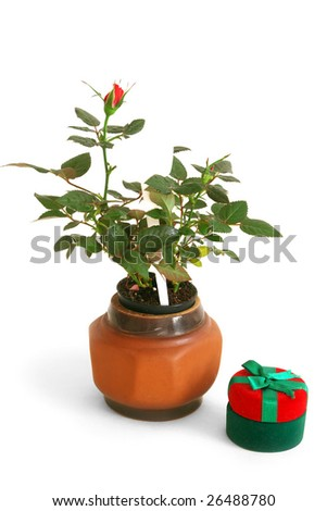 Little Red Rose in a Pot, isolated with a shadow