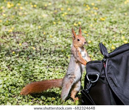 little red squirrel looking for food stands near bag in park