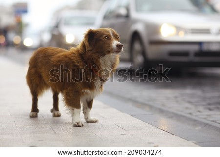 little redhead cute dog on the street - stock photo