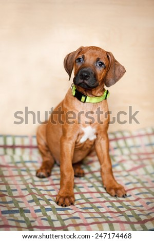 Little Rhodesian Ridgeback puppy in green collar at home - stock photo
