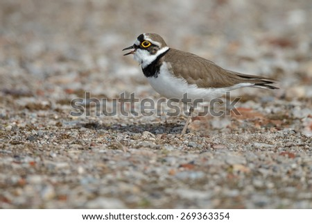 Little ringed plover - stock photo