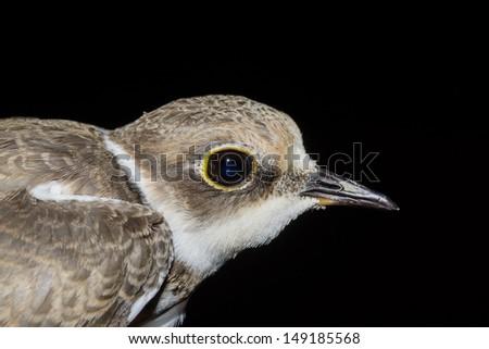 Little Ringed Plover, Charadrius dubius. - stock photo