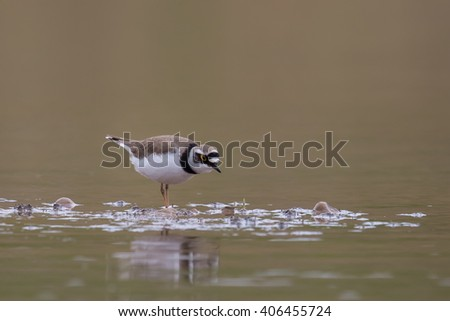 Little ringed Plover (Charadrius dubius) feeding in shallow water, isolated against a blurred natural background, East Yorkshire, UK - stock photo