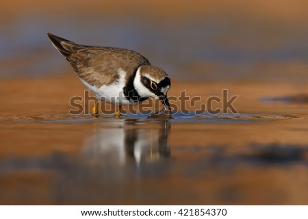 Little Ringed Plover - Charadrius dubius in the lake of fresh water - stock photo