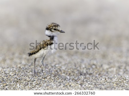 Little Ringed Plover (Charadrius dubius) - this tiny newborn bird is capable of hunting almost immediately and relies on its tiny size and coloration to camouflage itself from predators. - stock photo
