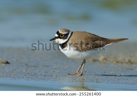 little ringed plover in natural habitat (Charadrius dubius) - stock photo