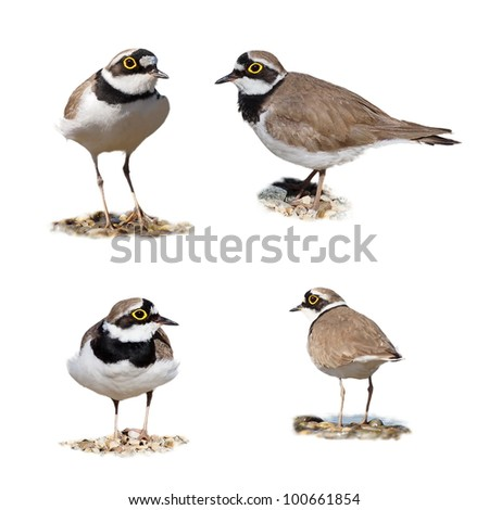 Little Ringed Plover isolated on white background, Charadrius dubius - stock photo