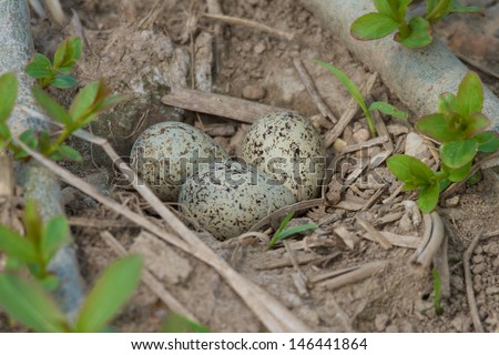 Little Ringed Plover nest - stock photo