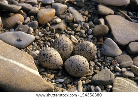 little ringed plover nest and eggs - stock photo