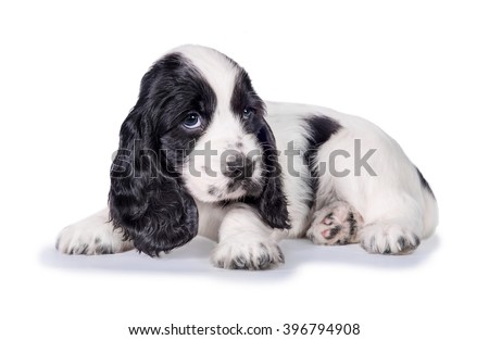 Little sad english cocker spaniel puppy lying isolated on white - stock photo