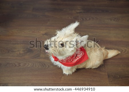 Little scotch terrier sitting on the wooden floor. White puppy of scotch terrier with red kerchief on it's neck.