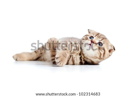 little Scottish fold kitten lying on floor