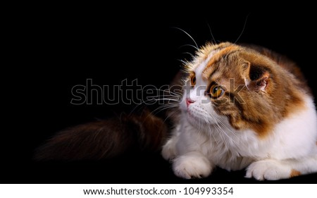 little scottish fold kitten on black background - stock photo