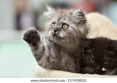 Little scottish straight kittens - stock photo