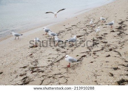 Little seagulls with red beaks on the beach