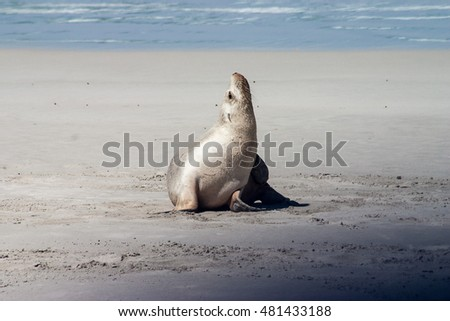 Little Seal on a beach of Kangaroo Island