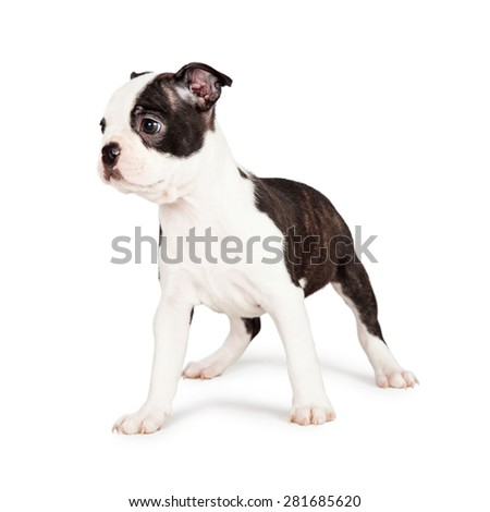 Little seven week old Boston Terrier puppy standing and looking off to the side. Isolated on white.