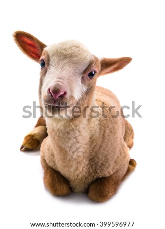 little sheep on a white background