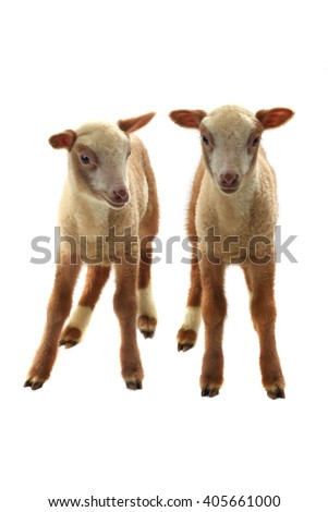 little sheep on a white background - stock photo