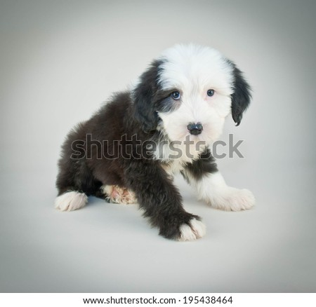 Little Sheepdog looking sad and sorry about something. - stock photo