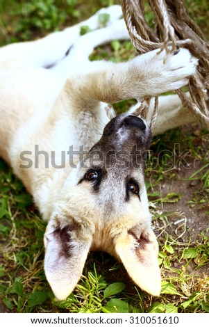 little shepherd puppy chew falling rope on the ground - stock photo