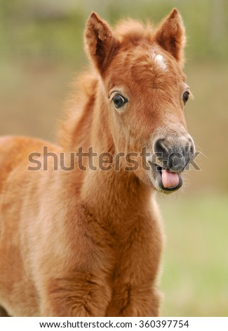 little shetland pony foal portrait - stock photo