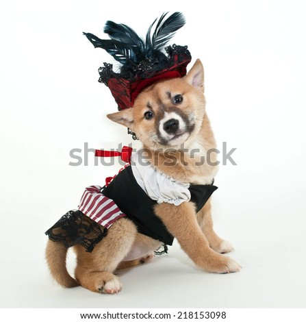 Little Shiba Inu puppy dressed up in a pirate wench outfit looking very proud of herself on a white background. - stock photo