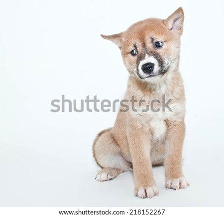 Little Shiba Inu puppy looking very confused about something on a white background.