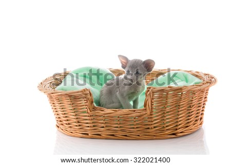 Little Siamese cat sitting in big basket