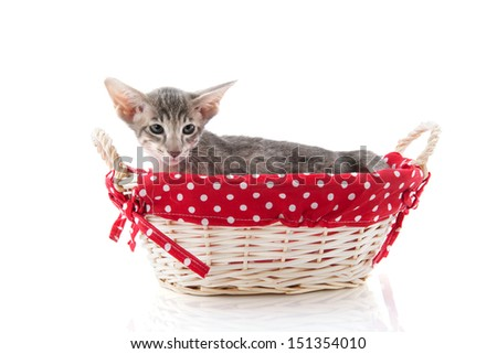 Little siamese kitten in red basket isolated over white background