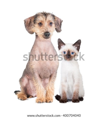 Little siamese kitten with chinese crested hairless dog isolated on white