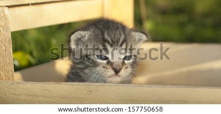 Little sleepy whisker kitten outside in a wooden box- 2 weeks old - stock photo