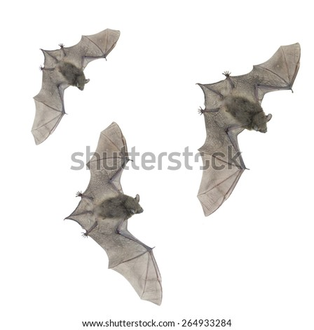 Little small bat flying,isolated on white