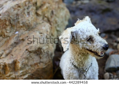 Little smiling white dog against a rocky backdrop