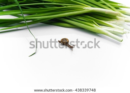 little snail (Molluska) with fresh green Garlic chives vegetable on white background chives leaves (leek) isolated on pure white - stock photo