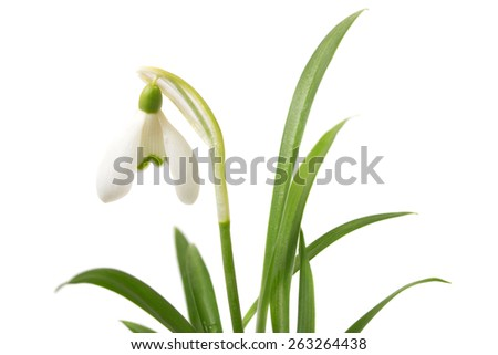 Little snowdrop - stock photo