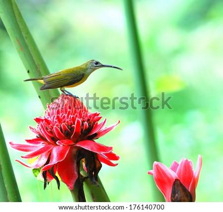 Little spiderhunter, sucking nectar from red flower  - stock photo